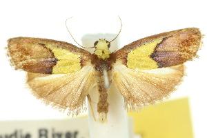 (Chrysomesia - 10ANIC-00574)  @15 [ ] CreativeCommons - Attribution Non-Commercial Share-Alike (2010) CSIRO/BIO Photography Group Centre for Biodiversity Genomics