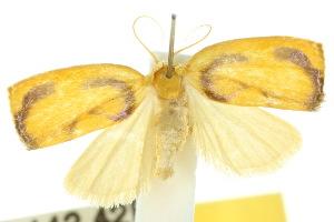 (Trischalis aureoplagiata - 10ANIC-00601)  @14 [ ] CreativeCommons - Attribution Non-Commercial Share-Alike (2010) CSIRO/BIO Photography Group Centre for Biodiversity Genomics