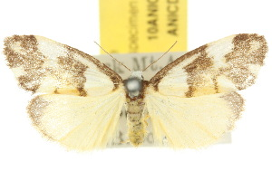 (Philenora irregularis - 10ANIC-00691)  @14 [ ] CreativeCommons - Attribution Non-Commercial Share-Alike (2010) CSIRO/BIO Photography Group Centre for Biodiversity Genomics