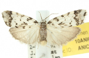 (Goniosema euraphota - 10ANIC-00980)  @14 [ ] CreativeCommons - Attribution Non-Commercial Share-Alike (2010) CSIRO/BIO Photography Group Centre for Biodiversity Genomics