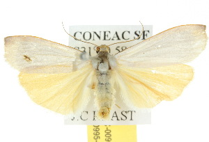 (Hesychopa chionora - 10ANIC-00995)  @14 [ ] CreativeCommons - Attribution Non-Commercial Share-Alike (2010) CSIRO/BIO Photography Group Centre for Biodiversity Genomics