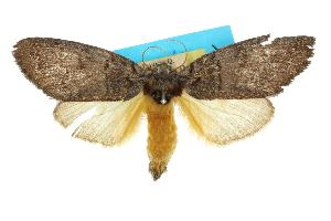 (Pheraspis rectilinea - 10ANIC-00159)  @11 [ ] CreativeCommons - Attribution Non-Commercial Share-Alike (2010) CSIRO/BIO Photography Group Centre for Biodiversity Genomics