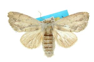 (Pheraspis spodea - 10ANIC-00164)  @15 [ ] CreativeCommons - Attribution Non-Commercial Share-Alike (2010) CSIRO/BIO Photography Group Centre for Biodiversity Genomics