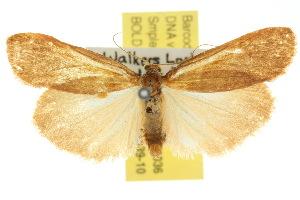(Scoliacma adrasta - 10ANIC-01036)  @13 [ ] CreativeCommons - Attribution Non-Commercial Share-Alike (2010) CSIRO/BIO Photography Group Centre for Biodiversity Genomics