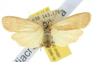 (Scoliacma fasciata - 10ANIC-01037)  @15 [ ] CreativeCommons - Attribution Non-Commercial Share-Alike (2010) CSIRO/BIO Photography Group Centre for Biodiversity Genomics