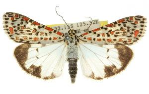 (Utetheisa pulchelloides - 10ANIC-01095)  @15 [ ] CreativeCommons - Attribution Non-Commercial Share-Alike (2010) CSIRO/BIO Photography Group Centre for Biodiversity Genomics
