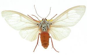 (Amerila alberti - 10ANIC-01132)  @15 [ ] CreativeCommons - Attribution Non-Commercial Share-Alike (2010) CSIRO/BIO Photography Group Centre for Biodiversity Genomics