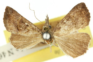 (Hypena sylpha - 10ANIC-01734)  @11 [ ] CreativeCommons - Attribution Non-Commercial Share-Alike (2010) CSIRO/BIO Photography Group Centre for Biodiversity Genomics