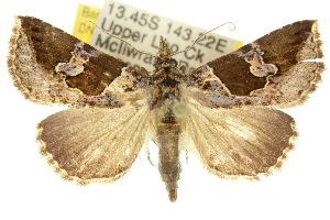 (Sarobela - 10ANIC-01750)  @15 [ ] CreativeCommons - Attribution Non-Commercial Share-Alike (2010) CSIRO/BIO Photography Group Centre for Biodiversity Genomics