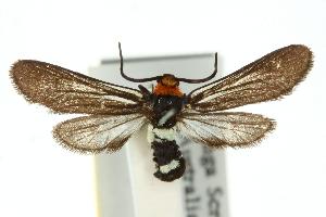 (Hestiochora continentalis - 10ANIC-02202)  @15 [ ] CreativeCommons - Attribution Non-Commercial Share-Alike (2010) CSIRO/BIO Photography Group Centre for Biodiversity Genomics