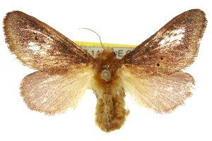 (Doratifera quadriguttata - 10ANIC-02321)  @14 [ ] CreativeCommons - Attribution Non-Commercial Share-Alike (2010) CSIRO/BIO Photography Group Centre for Biodiversity Genomics