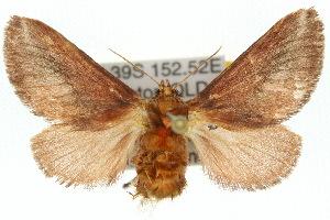 (Doratifera stenora - 10ANIC-02324)  @15 [ ] CreativeCommons - Attribution Non-Commercial Share-Alike (2010) CSIRO/BIO Photography Group Centre for Biodiversity Genomics