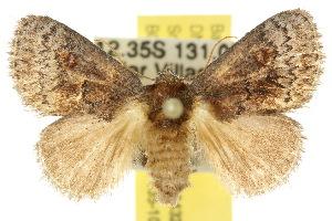 (Ecnomoctena brachyopa - 10ANIC-02432)  @15 [ ] CreativeCommons - Attribution Non-Commercial Share-Alike (2010) CSIRO/BIO Photography Group Centre for Biodiversity Genomics