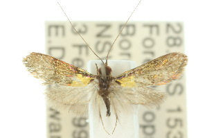 (Nemophora sp. ANIC2 - 10ANIC-02714)  @14 [ ] CreativeCommons - Attribution Non-Commercial Share-Alike (2010) CSIRO/BIO Photography Group Centre for Biodiversity Genomics