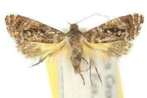 (Glyphipterix gemmipunctella - 10ANIC-02723)  @15 [ ] CreativeCommons - Attribution Non-Commercial Share-Alike (2010) CSIRO/BIO Photography Group Centre for Biodiversity Genomics