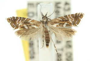 (Glyphipterix leucargyra - 10ANIC-02730)  @15 [ ] CreativeCommons - Attribution Non-Commercial Share-Alike (2010) CSIRO/BIO Photography Group Centre for Biodiversity Genomics