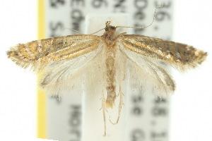 (Glyphipterix chalcostrepta - 10ANIC-02733)  @14 [ ] CreativeCommons - Attribution Non-Commercial Share-Alike (2010) CSIRO/BIO Photography Group Centre for Biodiversity Genomics