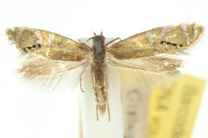 (Glyphipterix anaclastis - 10ANIC-02742)  @11 [ ] CreativeCommons - Attribution Non-Commercial Share-Alike (2010) CSIRO/BIO Photography Group Centre for Biodiversity Genomics