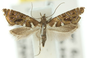 (Glyphipterix amblycerella - 10ANIC-02781)  @11 [ ] CreativeCommons - Attribution Non-Commercial Share-Alike (2010) CSIRO/BIO Photography Group Centre for Biodiversity Genomics