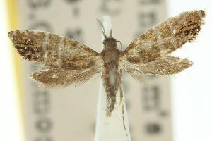 (Glyphipterix argyrelata - 10ANIC-02787)  @11 [ ] CreativeCommons - Attribution Non-Commercial Share-Alike (2010) CSIRO/BIO Photography Group Centre for Biodiversity Genomics