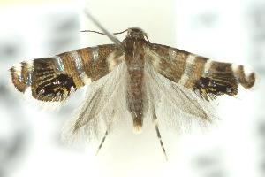 (Glyphipterix iometalla - 10ANIC-02791)  @14 [ ] CreativeCommons - Attribution Non-Commercial Share-Alike (2010) CSIRO/BIO Photography Group Centre for Biodiversity Genomics