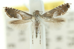 (Glyphipterix harpogramma - 10ANIC-02800)  @13 [ ] CreativeCommons - Attribution Non-Commercial Share-Alike (2010) CSIRO/BIO Photography Group Centre for Biodiversity Genomics