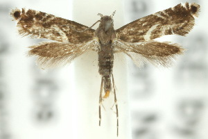 (Glyphipterix acinacella - 10ANIC-02807)  @14 [ ] CreativeCommons - Attribution Non-Commercial Share-Alike (2010) CSIRO/BIO Photography Group Centre for Biodiversity Genomics