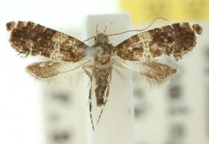 (Glyphipterix rhanteria - 10ANIC-02824)  @14 [ ] CreativeCommons - Attribution Non-Commercial Share-Alike (2010) CSIRO/BIO Photography Group Centre for Biodiversity Genomics