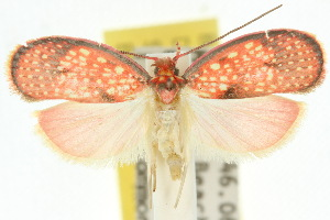 (Scorpiopsis rhodoglauca - 10ANIC-03805)  @15 [ ] CreativeCommons - Attribution Non-Commercial Share-Alike (2010) CSIRO/BIO Photography Group Centre for Biodiversity Genomics