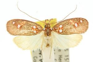 (Scorpiopsis sp. ANIC1 - 10ANIC-03810)  @15 [ ] CreativeCommons - Attribution Non-Commercial Share-Alike (2010) CSIRO/BIO Photography Group Centre for Biodiversity Genomics
