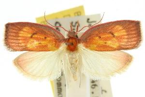 (Scorpiopsis sp. ANIC2 - 10ANIC-03813)  @15 [ ] CreativeCommons - Attribution Non-Commercial Share-Alike (2010) CSIRO/BIO Photography Group Centre for Biodiversity Genomics