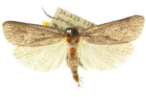 (Enteremna dolerastis - 10ANIC-03861)  @15 [ ] CreativeCommons - Attribution Non-Commercial Share-Alike (2010) CSIRO/BIO Photography Group Centre for Biodiversity Genomics