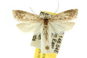 (Heterobathra sp. ANIC2 - 10ANIC-04076)  @15 [ ] CreativeCommons - Attribution Non-Commercial Share-Alike (2010) CSIRO/BIO Photography Group Centre for Biodiversity Genomics