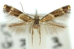 (Elachista propera - 10ANIC-04544)  @11 [ ] CreativeCommons - Attribution Non-Commercial Share-Alike (2010) CBG Photography Group Centre for Biodiversity Genomics