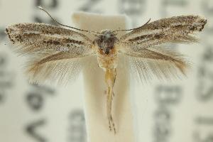 (Elachista asperae - 10ANIC-04769)  @14 [ ] CreativeCommons - Attribution Non-Commercial Share-Alike (2010) CBG Photography Group Centre for Biodiversity Genomics