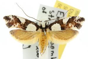 (Monopis icterogastra - 10ANIC-05124)  @15 [ ] CreativeCommons - Attribution Non-Commercial Share-Alike (2010) CSIRO/BIO Photography Group Centre for Biodiversity Genomics