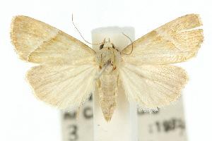 (Eustrotia papuensis - 10ANIC-05832)  @14 [ ] CreativeCommons - Attribution Non-Commercial Share-Alike (2010) CSIRO/BIO Photography Group Centre for Biodiversity Genomics