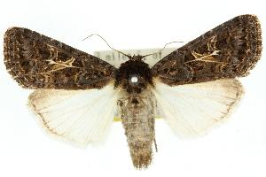 (Spodoptera apertura - 10ANIC-07311)  @15 [ ] CreativeCommons - Attribution Non-Commercial Share-Alike (2010) CSIRO/BIO Photography Group Centre for Biodiversity Genomics