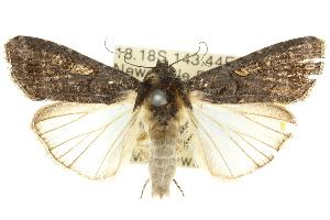 (Spodoptera exempta - 10ANIC-07314)  @15 [ ] CreativeCommons - Attribution Non-Commercial Share-Alike (2010) CSIRO/BIO Photography Group Centre for Biodiversity Genomics