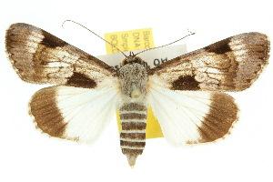 (Audea irioleuca - 10ANIC-07397)  @15 [ ] CreativeCommons - Attribution Non-Commercial Share-Alike (2010) CSIRO/BIO Photography Group Centre for Biodiversity Genomics