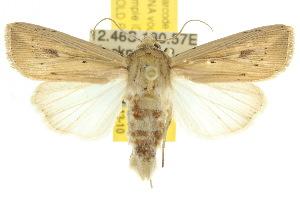(Leucania linearis - 10ANIC-08040)  @15 [ ] CreativeCommons - Attribution Non-Commercial Share-Alike (2010) CSIRO/BIO Photography Group Centre for Biodiversity Genomics