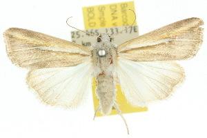 (Leucania cruegeri - 10ANIC-08059)  @15 [ ] CreativeCommons - Attribution Non-Commercial Share-Alike (2010) CSIRO/BIO Photography Group Centre for Biodiversity Genomics