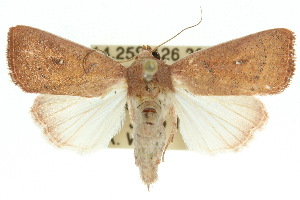 (Leucania leucosta - 10ANIC-08097)  @14 [ ] CreativeCommons - Attribution Non-Commercial Share-Alike (2010) CSIRO/BIO Photography Group Centre for Biodiversity Genomics