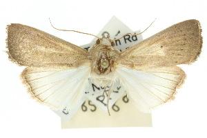 (Leucania abdominalis - 10ANIC-08131)  @15 [ ] CreativeCommons - Attribution Non-Commercial Share-Alike (2010) CSIRO/BIO Photography Group Centre for Biodiversity Genomics