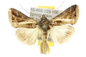 (Trichoplusia lectula - 10ANIC-08290)  @14 [ ] CreativeCommons - Attribution Non-Commercial Share-Alike (2010) CSIRO/BIO Photography Group Centre for Biodiversity Genomics