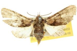 (Anigraea - 10ANIC-08433)  @15 [ ] CreativeCommons - Attribution Non-Commercial Share-Alike (2010) CSIRO/BIO Photography Group Centre for Biodiversity Genomics