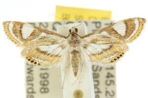 (Strepsinoma - 10ANIC-09069)  @15 [ ] CreativeCommons - Attribution Non-Commercial Share-Alike (2010) CSIRO/BIO Photography Group Centre for Biodiversity Genomics