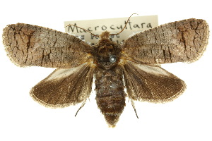 (Macrocyttara - 10ANIC-09162)  @15 [ ] CreativeCommons - Attribution Non-Commercial Share-Alike (2010) CSIRO/BIO Photography Group Centre for Biodiversity Genomics