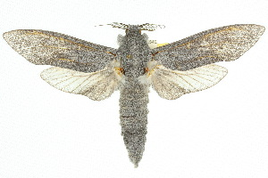 (Endoxyla edwardsorum - 10ANIC-09215)  @15 [ ] CreativeCommons - Attribution Non-Commercial Share-Alike (2010) CSIRO/BIO Photography Group Centre for Biodiversity Genomics