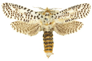 (Endoxyla tigrinus - 10ANIC-09367)  @15 [ ] CreativeCommons - Attribution Non-Commercial Share-Alike (2010) CSIRO/BIO Photography Group Centre for Biodiversity Genomics